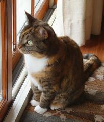 Gracie 3 March 2012 8391b 85 (edgarandron - Busy!) Tags: cats cute cat gracie feline tabby kitty kitties tabbies patchedtabby