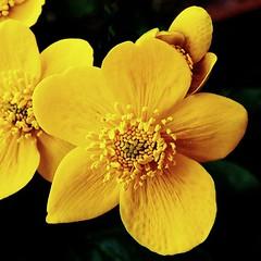 Marsh marigold (tina negus) Tags: flower macro wildflower marshmarigold calthapalustris kingcup colorphotoaward