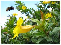 Flight of Bumblebee (Jorge Lamur) Tags: inseto mamangava rimskykorsakov canonpowershots5is flightofbumblebee