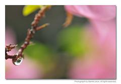 323063 (Barnie Leow) Tags: macro nature water rain singapore pearls dew waterdrops 150mm photonx barnieleow
