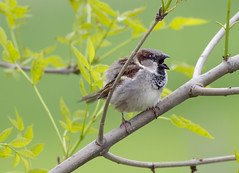 House Sparrow (Passer domesticus) (Panayotis1) Tags: nature birds aves greece sparrow housesparrow passerdomesticus animalia passer passeriformes chordata  passeridae canonef400mmf56lusm imathia aggelochori      kenkopro300afdgx14x