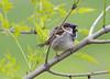House Sparrow (Passer domesticus) (Panayotis1) Tags: nature birds aves greece sparrow housesparrow passerdomesticus animalia passer passeriformes chordata φύση passeridae canonef400mmf56lusm imathia aggelochori πουλιά ημαθία σπουργίτι αγγελοχώρι σπιτοσπουργίτησ kenkopro300afdgx14x