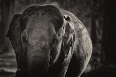 The BIG Guy (VinothChandar) Tags: pictures india elephant nature monochrome animals forest canon mammal photography photo photos wildlife picture reserve pic 5d karnataka kabini mkii nagarhole