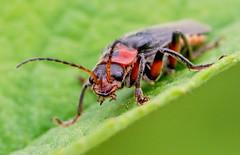 IMG_0288 Soldier Beetle (Cantharis rustica), Brandon Marsh, Warwickshire 12June12 (Lathers) Tags: brandon warwickshire soldierbeetle cantharisrustica brandonmarsh canon7d canonef100f28lisusm wkwt 12june12