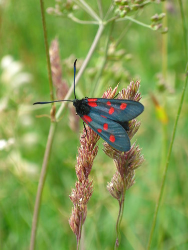 Alpine Burnet Moth