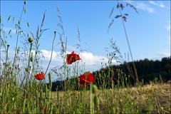 Summer time (Helmut Reichelt) Tags: leica germany deutschland bavaria sommer natur oberbayern landschaft m9 mohn geretsried böhmwiese leicasummaritm50mm
