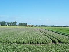meer aardappelen (Omroep Zeeland) Tags: zeeland lucht weer aardappelen bloeien weerbericht weerfoto omroepzeeland weersverwachting weerinzeeland