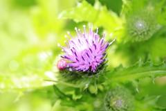 Thistle (will668) Tags: pink flowers blue light flower tree green nature purple commonknapweed centaureanigra