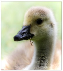 Soft Gentle and Innocent, just like me :o) (A.J.Pendleton-Lightbox 2008 (On and Off)) Tags: park bird nature canon pond wildlife 400l canon7d blinkagain
