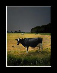 Landschap (Theo Kelderman) Tags: holland netherlands landscape nederland weiland 2012 landschap koeien spaarndam theokeldermanphotography molendeslokop