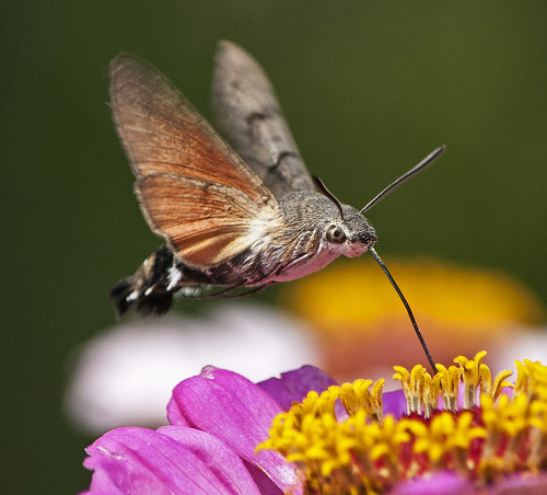 hummingbird hawk moth 10.7