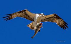Special Delivery (d-lilly) Tags: ngc flight osprey supershot animalkingdomelite ospreywithfish birdperfect maritimeacademy2012