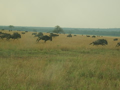 Running Wildebeest (Real Africa) Tags: africa wild tanzania kenya running safari herd grazing wildebeest wildebeestmigration safarianimal migrationmasimara