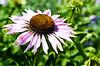 Echinacea (Damien Cox) Tags: uk plant macro nature closeup nikon natural echinacea damiencox dcoxphotographycom