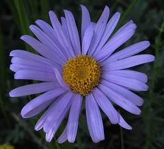 Aster alpinus (loveexploring) Tags: france wildflower vercors drôme parcnaturelrégionalduvercors
