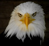 """Wotans Beautiful Eye's"" (Galeyo) Tags: nature birds wildlife eagles bej fantasticnature allofnatureswildlifelevel1 allofnatureswildlifelevel2 allofnatureswildlifelevel3 iloveallofnatureswildlifelevel1 allofnatureswildlifelevel4 allofnatureswildlifelevel5 iloveallofnatureswildlifelevel2 freedomtosoarlevel1birdphotosonly iloveallofnatureswildlifelevel5"
