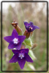 Anchusa italica (PheCrew) Tags: flower macro closeup fiore soken phecrew anchusaitalica buglossa