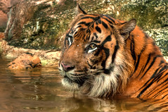Khunde  - Mr. Wonderful (Sumatra-Tiger) Tags: hot animal swimming cat wonderful asian zoo tokyo spain mr ueno tiger beast bathing too independenceday tijger carnivorous tigris rembrandt tigre bigcats sumatran darn fuengirola the spaniard  predetor uenozoologicalgardens flesheating toodarnhot sumatratiger tygr tiikeri  pantheratigrissumatrae sumatraansetijger the4thofjuly rembrandtlighting asiancat tigredesumatra khunde  sumatrantiikeri flickrbigcats harimausumatera sumatrakaplan tygrsumatersk tygryssumatrzaski  szumtraitigris       hsumatra