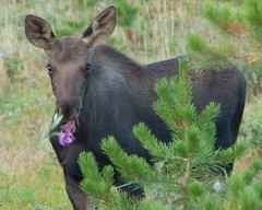 Breakfast of Champions (janetswandby) Tags: park mountain colorado wildlife rocky moose national rmnp calf fireweed