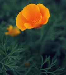 1-IMG_0335 (Anupam Kamal) Tags: orange india flower macro nature up 35mm canon garden close flame ooty 60d anupamkamal