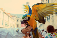 Parrot. (Abbey Red Hair) Tags: blue summer colors yellow parrot dubrovnik solor