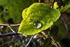 Drop Cradle (Walimai.photo) Tags: verde green hoja lumix leaf drop panasonic gota cradle cuna lx5