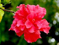 Hibiscus rosa-sinensis (.Bambo.) Tags: red plant flower planta flor hibiscus malvaceae hibiscusrosasinensis plantae ornamental roja cayena cultivated rosadechina cultivada