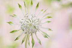 Magical Masterwort (Jacky Parker Floral Art) Tags: summer flower macro art nature floral horizontal closeup garden landscape one flora creative single bloom flowering softfocus format orientation masterwort perennal astrantiamoirareid