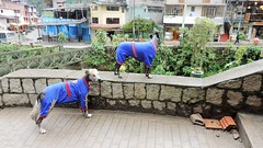 Peruvian dogs (Gabriele B) Tags: dog peru animal machu picchu hair no hairless aguas less peruvian 2014 calientes
