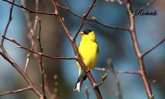 American Goldfinch (ricketdi) Tags: goldfinch diane americangoldfinch cantley chardonneret chardonneretjaune