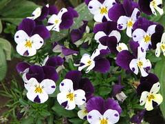 Viola 'Jump Up Mix' (AmyWoodward) Tags: viola fantasticflower