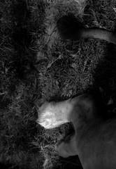 (other end) (Dinasty_Oomae) Tags: zorki blackandwhite bw monochrome zoo blackwhite outdoor lion chiba  ichikawa  jupiter9    zorki4 kmz    9  4