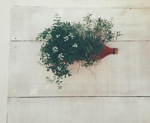 Flor-de-mel ou Álisso ou Loburalia maritima