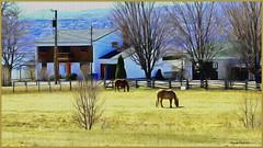 """""""Pastorale"""", Saint-Pierre, Ile d' Orlans, Qubec, Qc. (Huguette T.) Tags: art texture rural arbres prairie paysage campagne printemps ferme calme chevaux srnit peinturedigitale"""