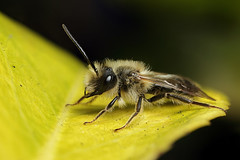 Male miner bee #2 (Lord V) Tags: macro bug insect bee andrena minerbee