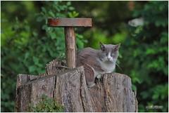 Ascoltando ogni minimo rumore. (Giulio Menis) Tags: felini gatti animali mici