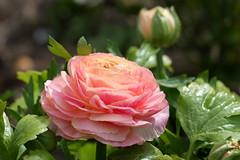 Queen of Sunday (Sockenhummel) Tags: spring fuji rosa ranunculus finepix fujifilm blume blte x30 frhling ranunkel britzergarten grnberlin fujix30