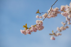 Cherry blossom (Infomastern) Tags: pink flower blossom rosa cherryblossom malm slottsparken krsbrsblom blom