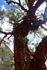 polylepis tree - Quebrada Ruripaccha (*Andrea B) Tags: lake peru honda hiking walk january hike glacier blanca valley laguna cordillera huaraz quebrada quebradahonda 2016 cordillerablanca january2016 peruandesguide quebradaruripaccha ruripaccha lagunapaccharuri paccharuri
