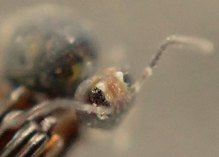 Springtail  Bourletiella hortensis i Eye Components