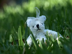 Introducing...Beary White (Shelby's Trail) Tags: bear white grass toy bokeh ~ htbt happyteddybeartuesday