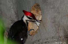Nurturing... (PerfumeG2011 (off & on)) Tags: baby canada birds nikon montreal chick dryocopuspileatus feedingtime montrealquebeccanada pileatedwoodpecker 2016 northamericanbirds parcangrignon parkangrignon angrignonpark montralqubeccanada d7000 nikond7000