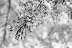 201604-06 (GenJapan1986) Tags: blackandwhite film japan spring university   cherryblossoms  miyagi  tohokuuniversity  ilfordhp5plus 2016      nikonnewfm2