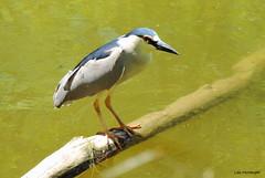 Black-crowned Night Heron - Male (Lois McNaught) Tags: ontario canada bird heron nature spring outdoor wildlife hamilton avian blackcrownednightheron cootesparadise aquaticbird