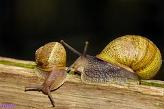 Que camino tan estrecho  Explore. (loriagaon) Tags: espaa naturaleza macro nature animals snail galicia animales pontevedra caracol loria loriagaon rx10lll sonyrx10lll sonydscrx10iii