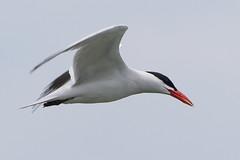 DUD_3849r (crobart) Tags: lake ontario bird birds port caspian erie tern dover