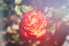 Lullaby (geekknot) Tags: red flower rose spring outdoor