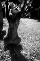 Cat Jump (smellerbee) Tags: summer blackandwhite bw cute film analog cat 35mm vintage blackwhite blurry kitten feline action kitty oldschool analogue 135 agfa analoguecamera agfasilette analogcamera