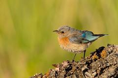 Western Bluebird (Mick Thompson1) Tags: