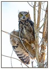 Great Horned Owl (Ed Sivon) Tags: park las vegas wild sun southwest bird nature america canon lasvegas wildlife nevada great american clark owl western birdofprey nevadadesert clarkcounty